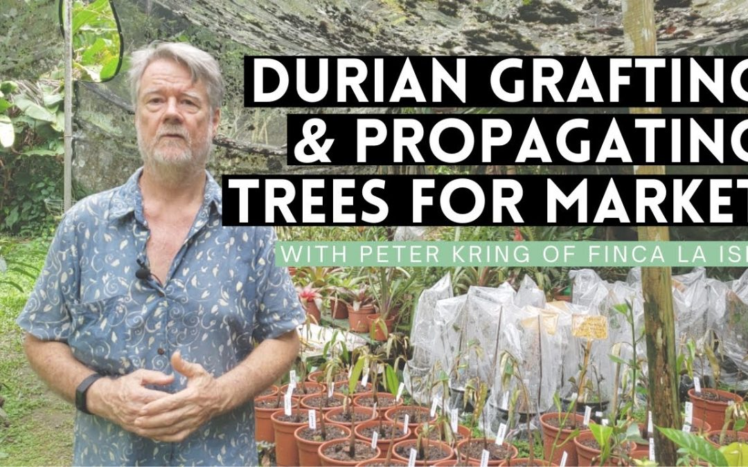 Durian Grafting & Propagating Trees for Market (Peter Kring: Finca La Isla)